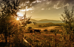 horses in autumn (andy_8357) Tags: boulder county colorado beautiful horses sunset grass field grazing trees hills foothills sony a6000 alpha ilce6000 ilcenex sun star light rays lightrays autumn selp1650 brook grassland fall season clouds sky 1650mm e pz sel1650 mirrorless front range frontrange sunburst aquaduct creek golden rolling emount breathtaking breath taking backlit backlight valley