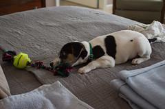 Tug of War Rope (marylea) Tags: mar6 2017 dooley dog puppy parsonrussellterrier parsonrussell jackrussellterrier jackrussell terrier