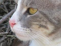 GATO_5615 (Annabell-Frias) Tags: chile canon cat gato macro closeup closeupanimal felino