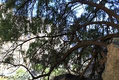 Pomegranate Tree (tinlight7) Tags: wadinakhar oman tree pomegranate taxonomy:kingdom=plantae plantae taxonomy:clade=tracheophyta tracheophyta taxonomy:phylum=magnoliophyta magnoliophyta taxonomy:class=magnoliopsida magnoliopsida taxonomy:order=myrtales myrtales taxonomy:family=lythraceae lythraceae taxonomy:genus=punica punica taxonomy:species=granatum taxonomy:binomial=punicagranatum granatapfel רימוןמצוי magraner punicagranatum granadacordelina tsapyan delima romãzeira гранатобыкновенный гранатзвычайны 安石榴 nocuanazehacastilla انار taxonomy:common=granatapfel taxonomy:common=רימוןמצוי taxonomy:common=magraner taxonomy:common=pomegranate taxonomy:common=granadacordelina taxonomy:common=tsapyan taxonomy:common=delima taxonomy:common=romãzeira taxonomy:common=гранатобыкновенный taxonomy:common=гранатзвычайны taxonomy:common=安石榴 taxonomy:common=nocuanazehacastilla taxonomy:common=انار