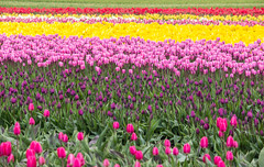Tulips Forever (Ashlyn G) Tags: canon6d tulipfestival washingtonstate flowers springtime tulips