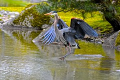 Great Blue Heron (Aurora Santiago Photography) Tags: greatblueheron seattlejapanesegarden seattle washingtonparkarboretum seattleparks officialseattlebird seajpnsgarden