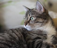 Avignon (lauriepetsitterparis) Tags: chat chatte chatonne mignon cute minou miaou petsitter catsitter