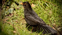 Sunbathing (_J @BRX) Tags: cromwellbottomnaturereserve cromwellbottom elland brighouse calderdale yorkshire england uk naturereserve woodland april2017 spring bird blackbird turdusmerula
