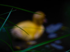 On the Loose (Steve Taylor (Photography)) Tags: rubber duck duckling grass bird art digital black blue green yellow plastic newzealand nz southisland canterbury christchurch leaves bokeh water