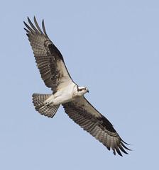 female Osprey in flight (Mawrter) Tags: osprey fly flying flight action motion wing wings wingspan nature wild wildlife bird birding avian nj canon specanimal