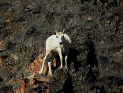 dall sheep on Dempster Highway (Pete Read) Tags: dall sheep dempster highway