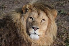 Chris @ Safaripark Beekse Bergen 03-09-2016 (Maxime de Boer) Tags: chris african lion afrikaanse leeuw panthera leo big cats katachtigen safaripark beekse bergen hilvarenbeek zoo animals dieren dierentuin gods creation schepping