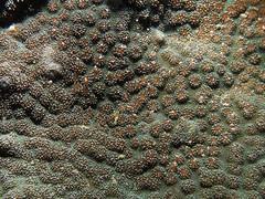 20170416_301_adj (cat64fish) Tags: singapore satumu marine underwater hardcoral echinopora ech spawning encrusting ce