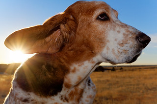 A Basset Makes Mornings Great!