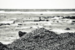 63+492: Now you see me ... (geemuses) Tags: nature portgibbon southaustralia seal animal water sea ocean beach shoreline shore seaweed bandw bw blackandwhite australianfurseal