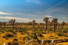 Desert (Hanna Tor) Tags: landscape nature sky desert outdoor park trip travel nationalpark hannator tree joshuatree