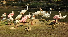 The Gang's All Here (robert (Bobby)powell) Tags: leecountyfl wildlife birds florida robertbobbypowell nature imagesofbing imagesofyahoo imagesofaol rpowell imagesofflorida usa imagesofesterofl southwestfl wetlands greatwhite egret roseatespoonbills roseate spoonbill yahooimagesoffl floridawetlands ibis glossyibis americanwhiteibis flickr wildlifephotography bing wadingbirds canon t2i