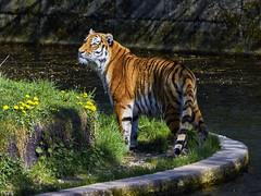 Tigerauge (Helmut Reichelt) Tags: auge wasser tiger sibirischertiger april frühling münchen zoo tierpark hellabrunn oberbayern bavaria deutschland germany panasonic lumix fz200 captureone10 colorefexpro4