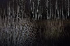 shining (Mindaugas Buivydas) Tags: lietuva lithuania color spring march tree trees birch dark darkness mood moody night mindaugasbuivydas