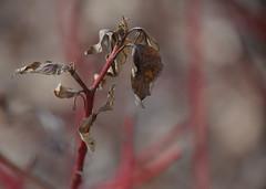 Red Stem (Bad Alley (Cat)) Tags: brownleaves deadleaves faded redstem plant shrub bush nature