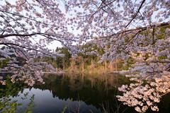 IMGP1143.jpg (Naoki Natsume/Ishii , 夏目直樹 ,石井直樹) Tags: sakura naokiishii lenz sigma fukushima flower camera japan pentax location human sigma1020mmf35exdchsm pentaxk3