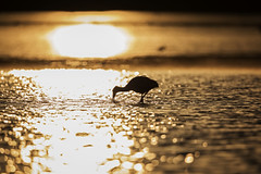 Bathed in Gold... (DTT67) Tags: roseatespoonbill roseate spoonbill dingdarling florida canon 5dmkiv 500mm nature goldenlight