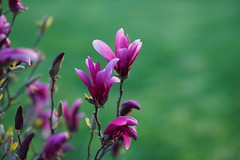 Spring Flower (AncasterZ) Tags: flower pink purple bokeh magnolia garden backyard a7rm2 a7rii rokinon135mmf2