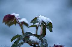 ❄️ Nieve (Momentos que no se buscan...) Tags: vianadobolo ourense galicia marzo march primavera spring naturaleza nature nieve snow