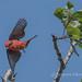 Vermilion Flycatcher 20170422iu-2 (jacques chartier) Tags: tucsonphoenixmogollonrimbirds