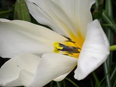 Diese Tulpe ist zwar vom ständigen Wind niedergedrückt worden, ihre riesige Blüte jedoch richtet sich immer ein wenig auf - This large tulip blossom was bent down to earth by the permanent wind, but it continues blooming and trying to lift its head (riesebusch) Tags: berlin garten marzahn