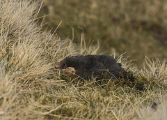 Mole - Mole making a hole! (Ann and Chris) Tags: mole mammal teesdale black furry digging wildlife wild wildlifewatching animal uk canon