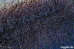 Scopulae @ 10x (mygale.de) Tags: red tarantula wallpaper vogelspinne earthtiger birdeater macro photography makro fotografie terrarien terraristik spinnen araneae spiders spider schärfentiefe tier mygale mygalede insect insekten grün weis green white scopulae 10x