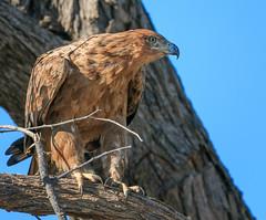 Steppe Eagle (rachelsloman) Tags: bird eagle steppeeagle botswana kwai