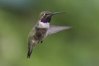 Black-chinned Hummingbird / Colibri à gorge noire