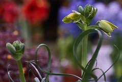 Spring! (Light Echoes) Tags: sony a6000 2017 macro tamron90mm winter march philadelphia philadelphiaflowershow philadelphiainternationalflowershow bulb flower flowerbud amaryllis