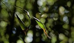 Three green leaves (Dale Gillard) Tags: bokeh green leaves melbourne plants royalbotanicgardens shadow victoria