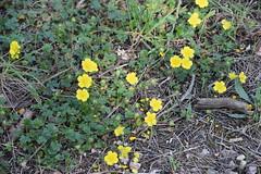 Potentilla (esta_ahi) Tags: fontrubí potentilla rosaceae flor flora flores silvestres yellow penedès barcelona spain españa испания