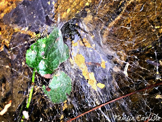 Funnel-web Weaver Spider