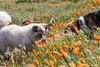 Poppies (11) (Feddal Nora) Tags: poppyreserve poppyreservenorafeddalcalifornia flower dog witch sorciere chien poppies coquelicot purple orange poppy antelope valley california reserve antelopevalleycaliforniapoppyreserve purplelacyphacelia canon