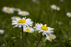 Daisy Time. (CamraMan.) Tags: daisy weed plant garden tamron90mm canon6d ©camraman