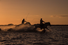 Herding the Horses at Sunset (Becks341) Tags: camargue horses ponies herd wild sunset sunrise sky silhouette