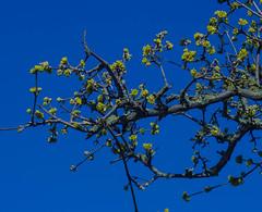 Spring in the air (2) (frankmh) Tags: tree blossom sky europeancornel helsingborg skåne sweden outdoor