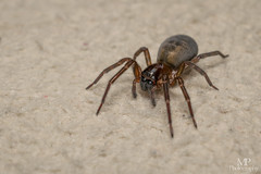 Amaurobius similis   Amaurobiidae (xilixir) Tags: amaurobius amaurobiidae similis female spider spiders spin sp arachnid araneomorphae araneae nikon nikkor nikonporn nikonusers natureupclose natureloversgallery macro macrodreams macrolife macroworld macros micro macroconverter 40mm 40mmf28 dx dichtbij d3300 dxcamera
