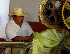 Production of sisal fiber (Spanish: henequén).  Sotuta de Peon Hacienda, Yucatan, Mexico. (cbrozek21) Tags: pentaxart sisal sisalfiber sisalfiberproduction henequén sotutadepeonhacienda decortication sisalagave fiber manufacture mexico portrait mexicano industrialprocess machine