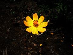 Dramatic Bliss (Aniket Sudhakar Yewale) Tags: रानफुल blossom bloss bloom wild flower satara asy bunny