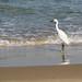 Israel-04552 - Egret