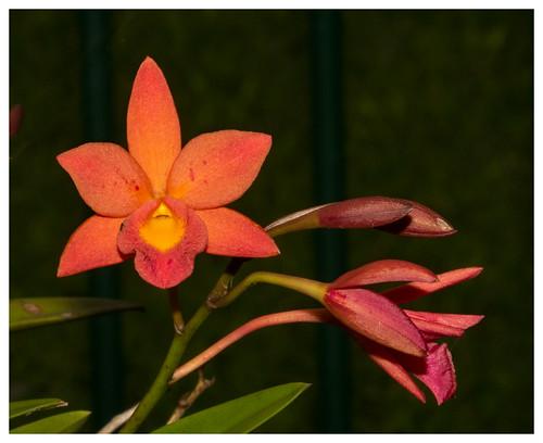 Home garden orchid.02