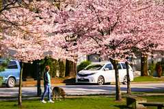 Cherry Blossoms Almost Full Bloom in Vancouver BC Canada (TOTORORO.RORO) Tags: bc canada greatervancouver britishcolumbia colors vancouver nature living walk life cherryblossoms cherryblossom cherry blossom sakura sakula spring flower festival vancouvercherryblossomfestival tree street 桜