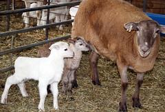 1670's twins (baalands) Tags: katahdin yearling ewe twins lambs pen