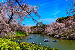Cherry Blossoms in Chidorigafuchi : 千鳥ヶ淵の桜花 (Dakiny) Tags: 2017 spring april japan tokyo chiyoda chiyodaward chidorigafuchi city street outdoor park water moat boat people landscape nature field plant tree flower cherry blossom cherryblossom bloom nikon d7000 sigma 1770mm f284 dc macro os hsm sigma1770mmf284dcmacrooshsm nikonclubit