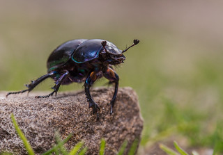 Dumble Dor Beetle (Trypocopris sp.)