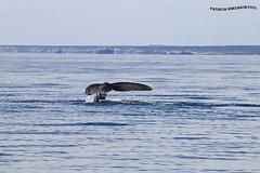 Ballena Franca Austral 5 (pniselba) Tags: ballena ballenafrancaaustral puertopiramides peninsula valdes peninsulavaldes puerto madryn puertomadryn chubut argentina eubalaenaaustralis southernrightwhale whale