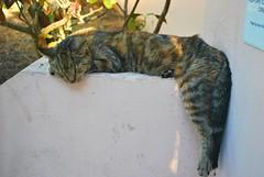 Key West (Florida) Trip 2016 0180Rif 4x6 (edgarandron - Busy!) Tags: florida keys floridakeys keywest cat cats kitty kitties tabby tabbies feline
