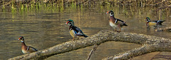 The Woodduck's Spring Picnic (jackalope22) Tags: wood ducks neal smith nature water fowl